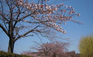 西大畑公園の桜と柳